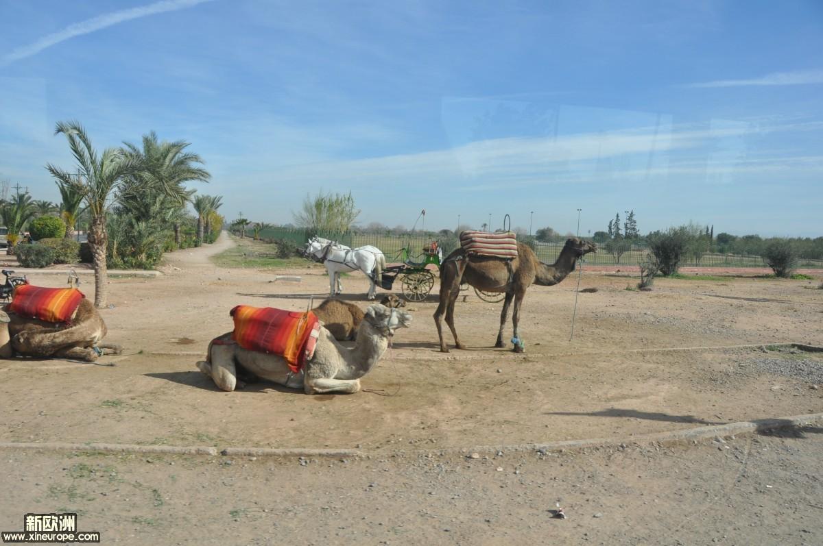 为进城先见骆驼.JPG