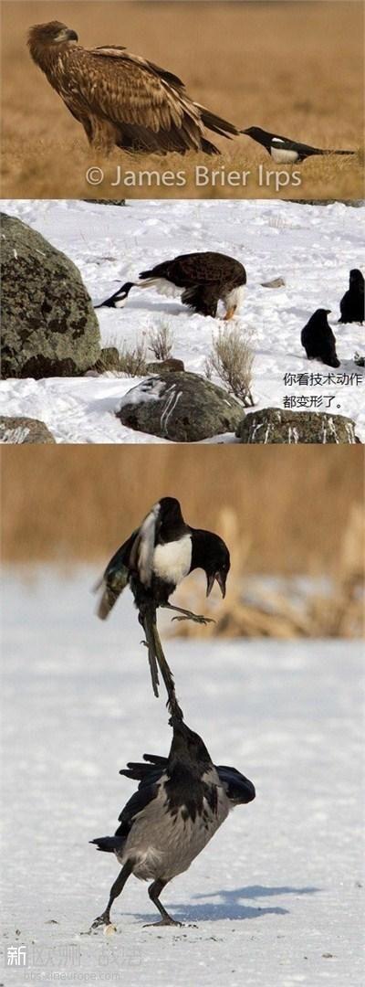 """奇葩动物犯贱行为:乌鸦喜欢""""拉尾巴""""(gif/组图)-图片"""