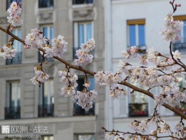 cerisier_a_fleurs_prunus_subhirtella_autumnalis_avenue_jean_jaures_paris_hiver_2.jpg