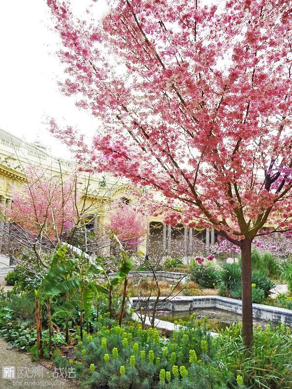 prunus-cerisiers-a-fleurs-arbres-jardin-petit-palais-hiver-paris.jpg