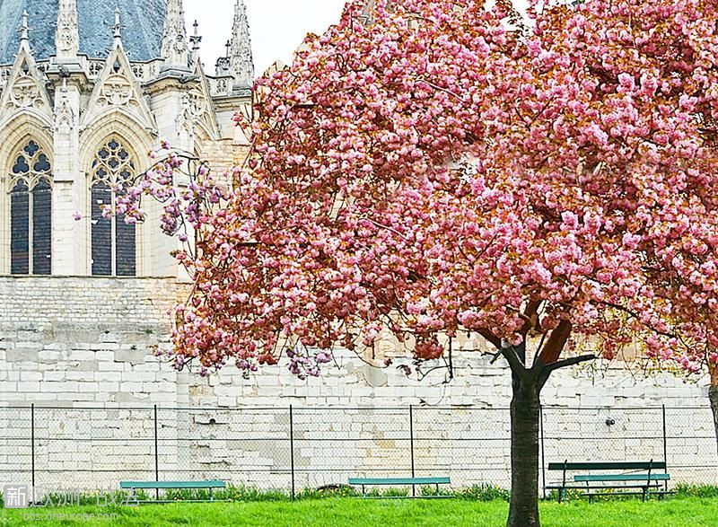 Cerisier-du-Japon.jpg