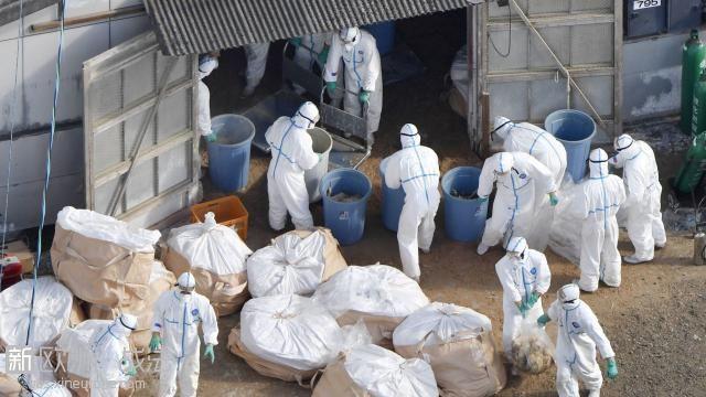 grippe-aviaire-le-virus-h5n8-n-est-pas-dangereux-pour-l-etre-humain.jpg