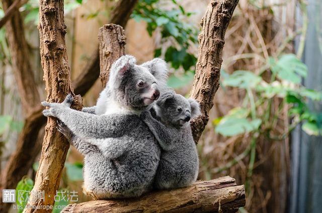 koala-1259681_640.jpg