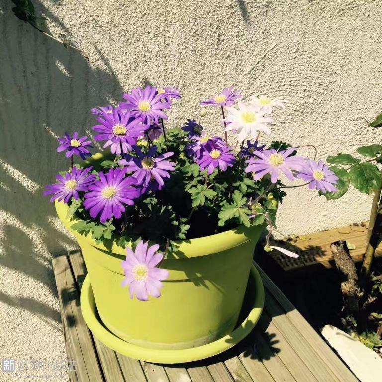 希腊银莲花冬天埋下种球后都不用浇水和打理,春天自己就能开的这么灿烂