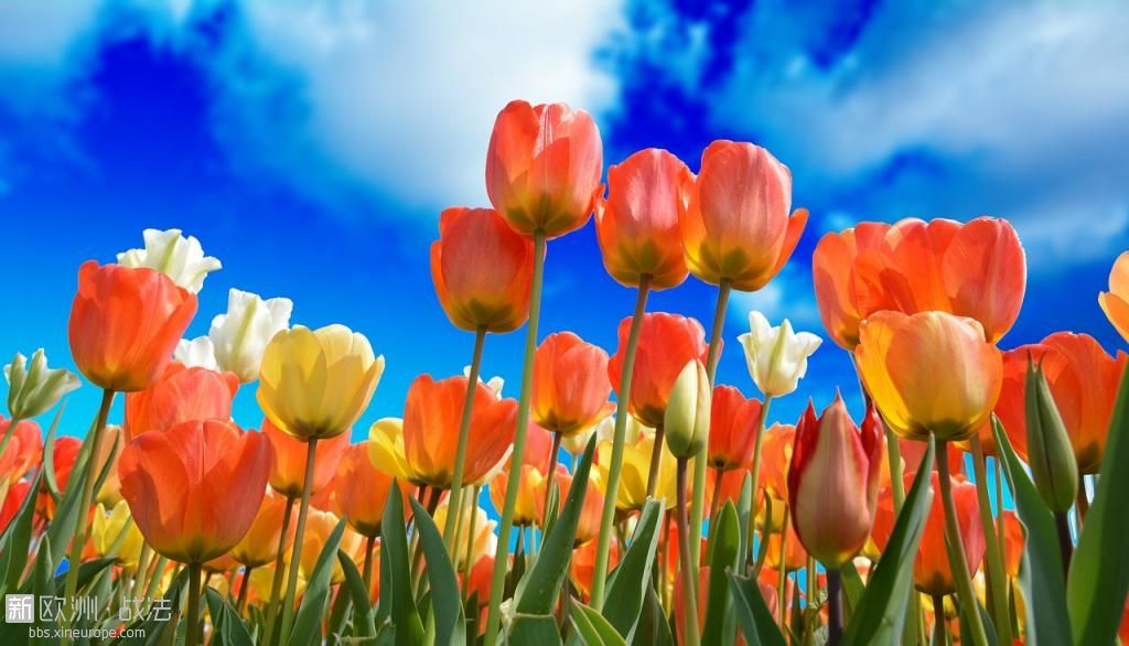 tulips-3251607_1280.jpg