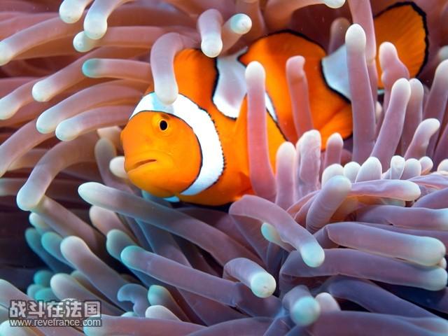 clown fish.jpg