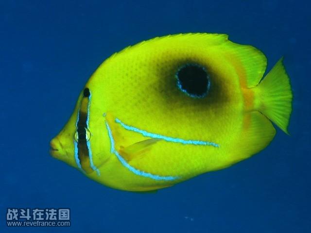 oval spot butterfly fish.jpg